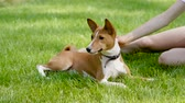 sahip : Portrait of basenji dog lying near his female owner on green lawn in summer park. Slow motion. HD