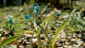 campanário : Bluebells in spring forest. First flower of blue snowdrop growing on a clearing in wood. 4K