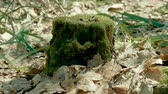 toco : One old tree stump overgrown with green moss in the spring forest. 4K