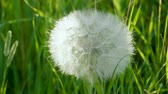 virág feje : Dandelion seeds. Close-up shot of dandelions head against bright green grass. 4K Stock mozgókép