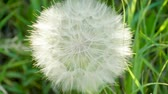 spor : Dandelion seeds. Close-up shot of dandelions head against bright green grass. 4K Stok Video