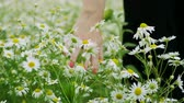 rumianek : Wild flowers. Close-up shot of a womens hand touching white daisies in the summer meadow. 4K