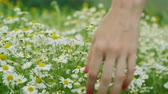 girl left : Wild flowers. Close-up shot of a womens hand touching white daisies in the summer meadow. 4K