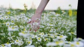 girl left : Wild flowers. Close-up shot of a womens hand touching white daisies in the summer meadow. Slow motion. HD