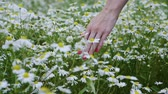 girl left : Wild flowers. Close-up shot of a woman running her hand through meadow with white daisies. Slow motion. HD
