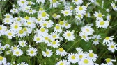rumianek : Wild flowers. Close-up shot of blooming white daisies in the summer field. Slow motion. HD Wideo