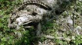 agyar : Top view of the corpse of a dead wild animal lying in the forest. 4K Stock mozgókép