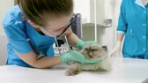 weterynaria : Close-up shot of persian cat is at the appointment of a veterinarian in a veterinary clinic. 4K