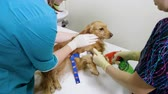 muestreo : A vet putting an intravenous catheter in a paw of dachshund dog in veterinary clinic. 4K