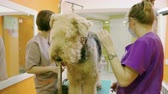 man grooming : Female groomers grooming an irish terrier dog with an animal brush in hair salon. 4K