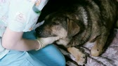 voliera : Vet at work. Female hands stroking the snout of stray dog lying in the cage of veterinary clinic. 4K