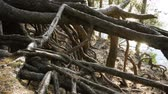 albero radici : The roots of an old pine tree growing in the autumn forest near the river. Slow motion. HD Filmati Stock