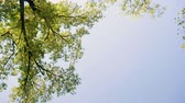 ladrão : The top of a deciduous green tree against a blue sky. Slow motion. HD Stock Footage