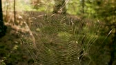 spinnenweb : Close-up shot of spider web at sunset in autumn forest. Slow motion. HD Stockvideo