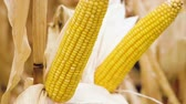 hozam : A field of ripe corn. Close-up shot of two ears of corn growing on the stalk. Slow motion. HD Stock mozgókép