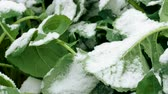 terras agrícolas : Winter landscape. Close-up shot of green leaves of agricultural plants covered in first snow. 4K