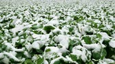 first flowers : Winter landscape. Field of green agricultural plants covered in first snow. 4K