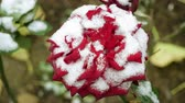 perce neige : Snowfall. Close-up shot of red rose buds covered in the first snow in november. 4K