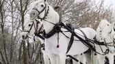 грива : Medium shot of Troika. A Russian carriage drawn by a team of three white horses side by side. Slow motion. HD