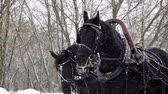 white headband : Medium shot of Troika. A Russian carriage drawn by a team of three black horses side by side. Slow motion. HD