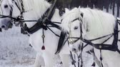 white headband : Troika. Russian carriage drawn by team of three horses side by side. Slow mo. HD