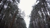 harikalar diyarı : Winter landscape. Panorama of pine forest covered in snow. Slow motion. HD