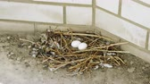 progeny : Close-up shot of two white pigeon eggs lying in the nest. 4K