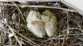 doğum : Nestling. Close-up shot of two newborn pigeon babies sitting in the nest. 4K