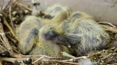 フィード : Nestling. Close-up shot of two newborn pigeon babies sitting in the nest. 4K