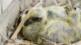 progeny : Nestling. Close-up shot of two newborn pigeon babies sitting in the nest. 4K
