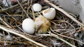 progeny : The nestlings in the nest. Close-up shot of newborn pigeon chick and one egg. 4K Stock Footage