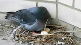 plumagem : Close-up shot of a pigeon sitting on a nest with one egg and one nestling. 4K