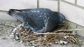 progeny : Close-up shot of a pigeon sitting on a nest with one egg and one nestling. 4K
