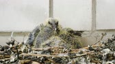 progeny : Nestling. Close-up shot of two pigeon babies sitting in the nest. 4K