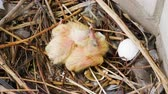건초 더미 : Nestling. Close-up shot of two newborn pigeon babies sitting in the nest. 4K
