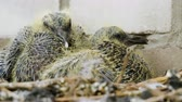 doğum : Nestling. Close-up shot of two pigeon babies sitting in the nest. 4K