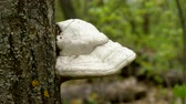 mushroom growing : Wild nature. Large mushroom growing on the trunk of a tree in the forest. 4K Stock Footage