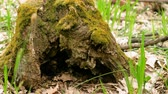 úmido : One old tree stump covered with green moss in the spring forest. 4K Vídeos