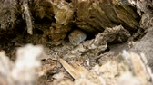 грызун : Close-up shot of wild field mouse hiding in the hole in forest. 4K