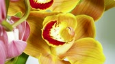 orchidea : Orchid. Close-up shot of fresh plant with yellow flowers. 4K