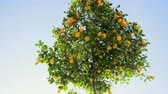 かんきつ類の果実 : City landscape. Tangerine tree with ripe tangerines on the streets of Barcelona in Spain. 4K