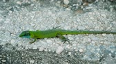 lizard : Close-up shot of a green lizard with a blue head on a stone. Slow motion. HD