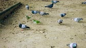 szerzetes : Monk parakeets. Green parrots and pigeons eating white bread in Barcelona city park. Spain. 4K