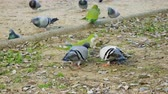 papuga : Monk parakeets. Green parrots and pigeons eating white bread in Barcelona city park. Spain. 4K
