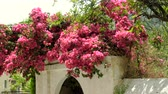 flowerpot : Cityscape. Flowering bougainvillea on the streets of Benitses in Greece. 4K
