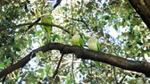 papoušek : Monk parakeets. Three green parrots sitting on the tree. One of them eating bread. Barcelona park in Spain. 4K