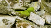 cone : Eastern Pyrenees. Close-up shot of moss on rocks of the mountain. 4K