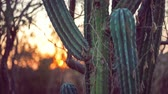 кактусы : Cactus plants at sunset Стоковые видеозаписи
