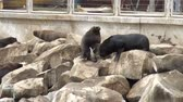 чили : South American Sea Lions Waiting To Be Fed - Otaria Flavescens - Coquimbo - Chile - November 2013