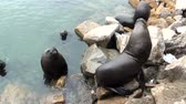 whiskers : South American Sea Lions Waiting To Be Fed - Otaria Flavescens - Coquimbo - Chile - November 2013